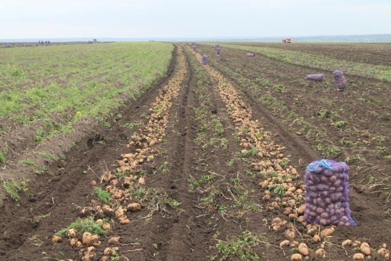логотип компании Продаем картофель оптом в Краснодарском крае. молодой картофель оптом Краснодар (отгрузка от 20 тонн)